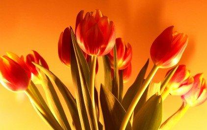 La tulipe.  dans poèmes tulip-flowers_422_79991
